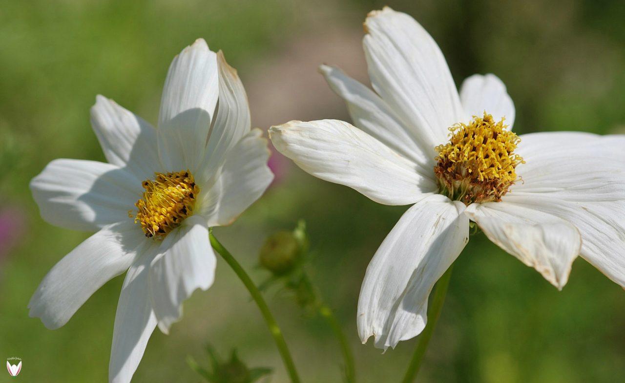 Bitkiler-De-Aldatır-Mı-Cosmos-sp.-1280x784.jpg